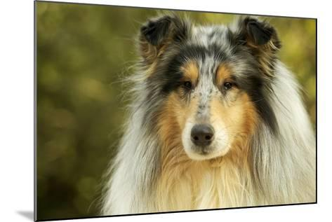 Rough Collie Dog--Mounted Photographic Print
