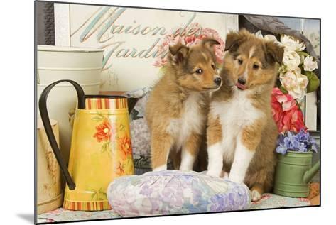 Shetland Sheepdog Puppies--Mounted Photographic Print