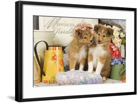 Shetland Sheepdog Puppies--Framed Art Print