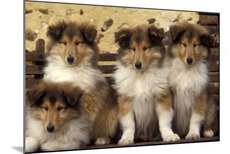 Rough Collie Dogs Four Puppies--Mounted Photographic Print
