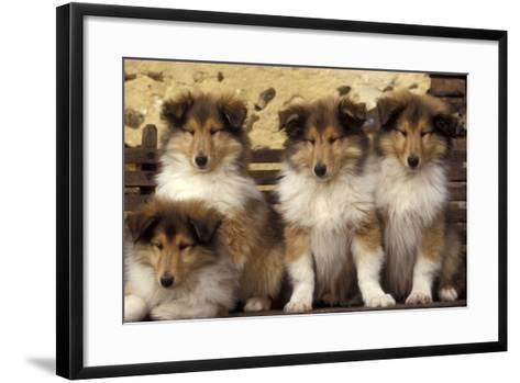Rough Collie Dogs Four Puppies--Framed Art Print