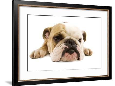 English Bulldog Lying in Studio--Framed Art Print