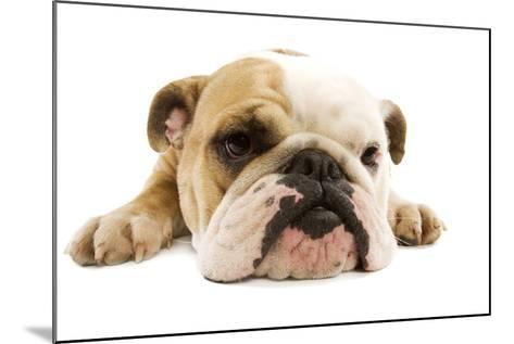 English Bulldog Lying in Studio--Mounted Photographic Print