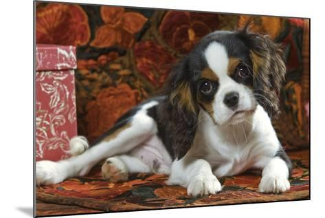 Cavalier King Charles Dog Puppy--Mounted Photographic Print