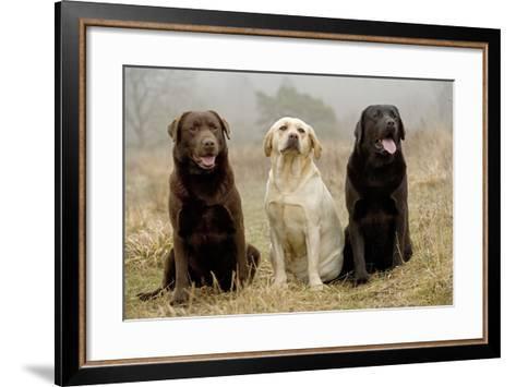 Labrador Yellow, Black and Chocolate--Framed Art Print