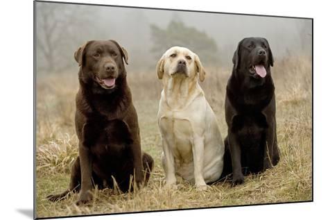 Labrador Yellow, Black and Chocolate--Mounted Photographic Print