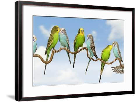 Budgerigars Group Perched on Twig--Framed Art Print