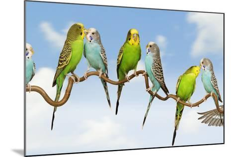 Budgerigars Group Perched on Twig--Mounted Photographic Print