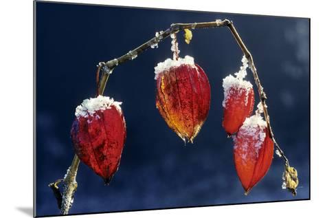 Winter Cherry--Mounted Photographic Print