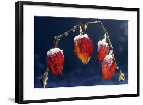 Winter Cherry--Framed Art Print
