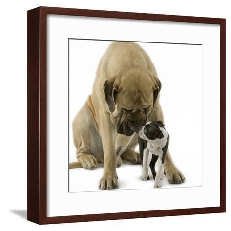 Boston Terrier with Mastiff Dog--Framed Art Print
