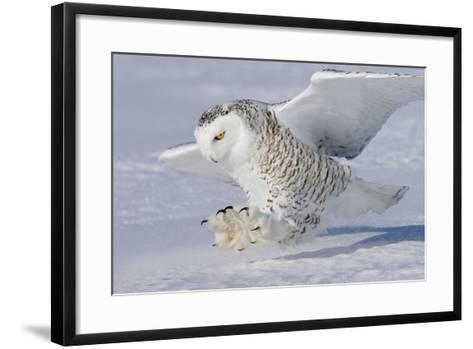 Snowy Owl in Flight--Framed Art Print