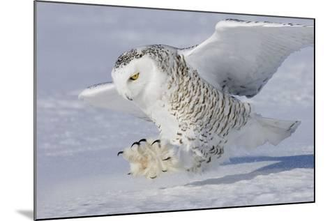 Snowy Owl in Flight--Mounted Photographic Print