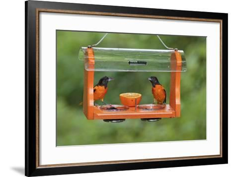 Baltimore Oriole Males Feeding at Jelly and Fruit Feeder--Framed Art Print