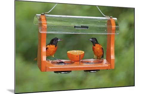 Baltimore Oriole Males Feeding at Jelly and Fruit Feeder--Mounted Photographic Print