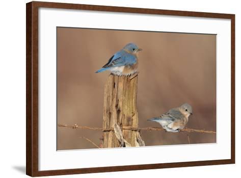 Eastern Bluebird Male and Female in Winter--Framed Art Print