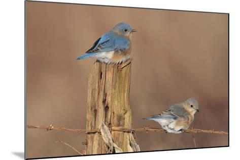Eastern Bluebird Male and Female in Winter--Mounted Photographic Print