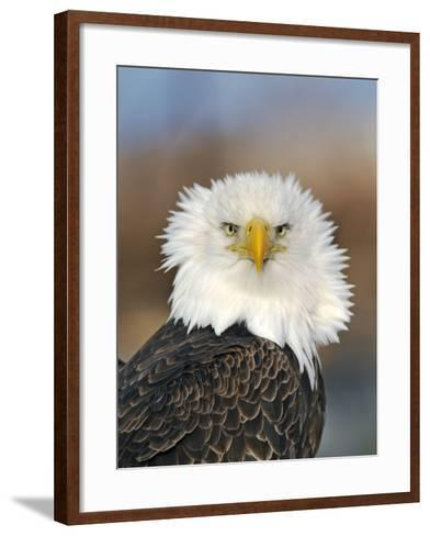 Adult Bald Eagle--Framed Art Print