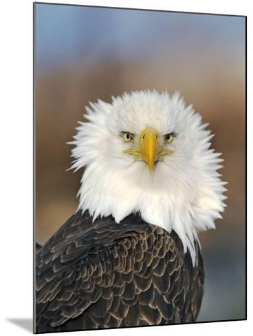 Adult Bald Eagle--Mounted Photographic Print