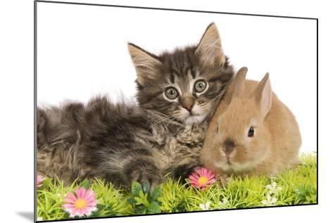 Norwegian Forest Kitten and Dwarf Rabbit--Mounted Photographic Print