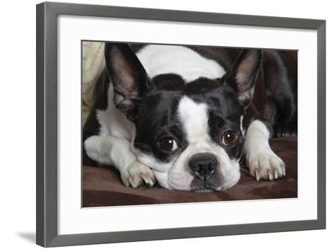 Boston Terrier--Framed Art Print