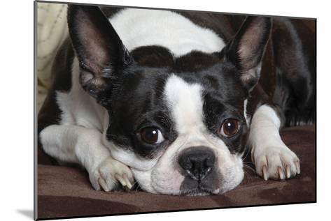 Boston Terrier--Mounted Photographic Print