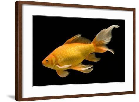 Fish Goldfish in Tank Black Background--Framed Art Print