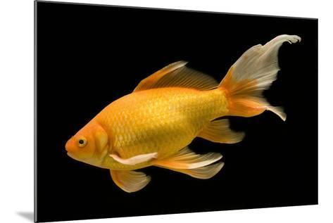 Fish Goldfish in Tank Black Background--Mounted Photographic Print