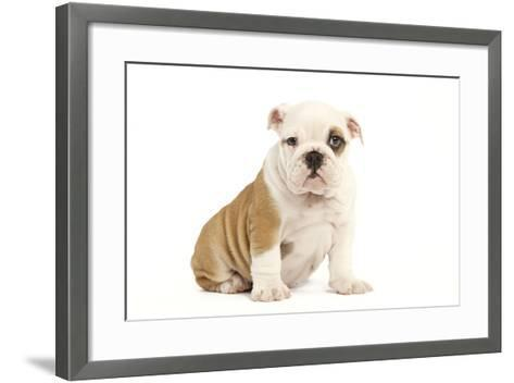English Bulldog--Framed Art Print