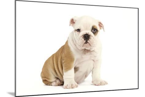 English Bulldog--Mounted Photographic Print