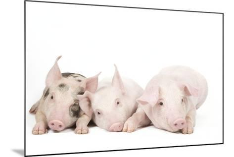 Piglets--Mounted Photographic Print