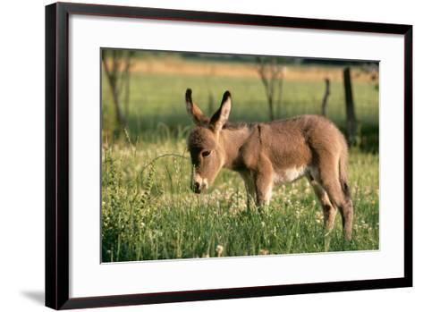 Donkey Foal in Meadow, Side On--Framed Art Print