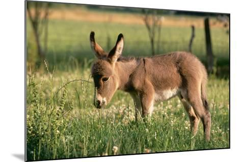 Donkey Foal in Meadow, Side On--Mounted Photographic Print