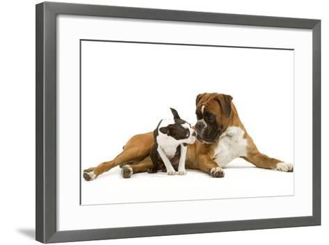 Boston Terrier and Boxer Sniffing Each Other in Studio--Framed Art Print