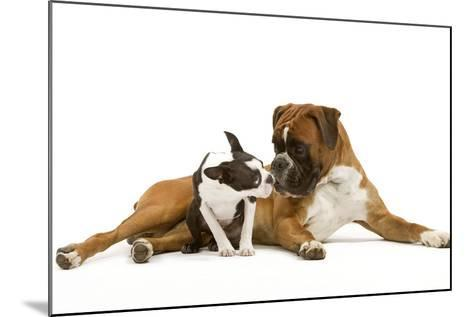 Boston Terrier and Boxer Sniffing Each Other in Studio--Mounted Photographic Print