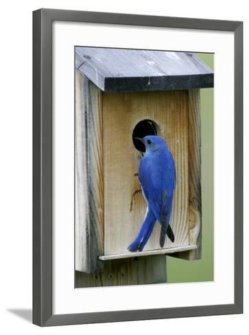 Mountain Bluebird Male at Nest Box--Framed Art Print