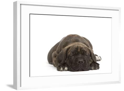 Cane Corso (Italian Guard Dog) Lying--Framed Art Print