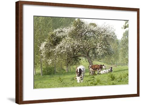 Cattle, Normandy Cows under Tree in Blossom--Framed Art Print