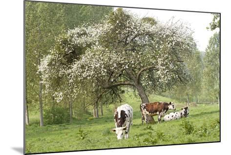 Cattle, Normandy Cows under Tree in Blossom--Mounted Photographic Print