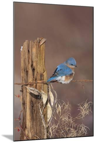 Eastern Bluebird Male in Winter--Mounted Photographic Print