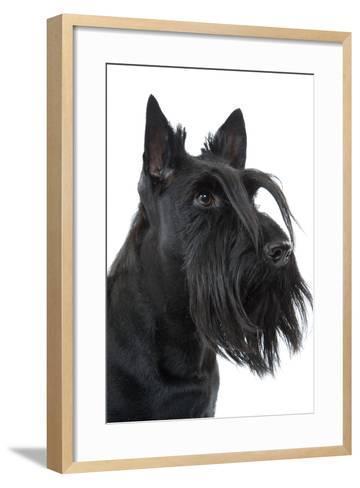 Scottish Aberdeen Terrier--Framed Art Print