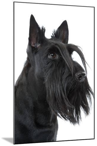 Scottish Aberdeen Terrier--Mounted Photographic Print