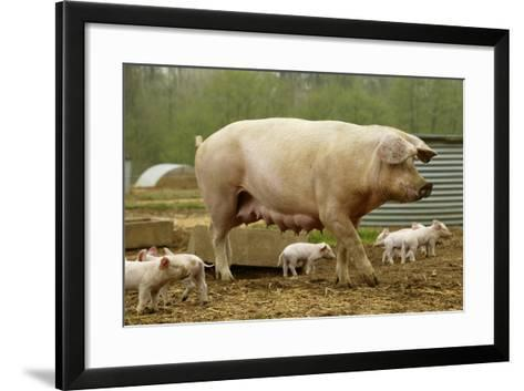 """Elevage """"Large White"""" Pig and Piglets in Sty--Framed Art Print"""