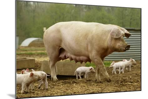 """Elevage """"Large White"""" Pig and Piglets in Sty--Mounted Photographic Print"""