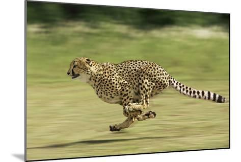 Cheetah Running--Mounted Photographic Print