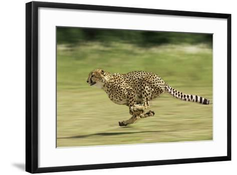 Cheetah Running--Framed Art Print