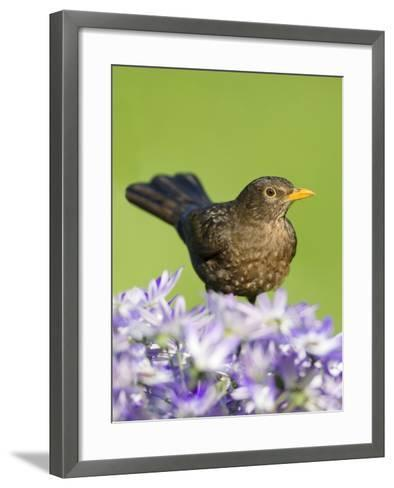 Blackbird Female--Framed Art Print