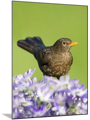 Blackbird Female--Mounted Photographic Print