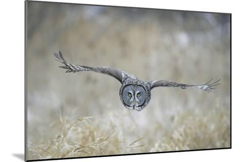 Great Grey Owl in Flight--Mounted Photographic Print