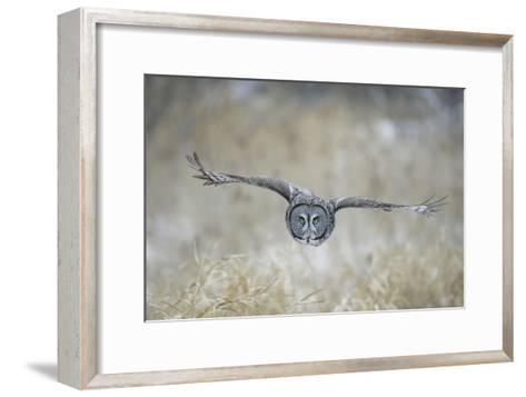 Great Grey Owl in Flight--Framed Art Print